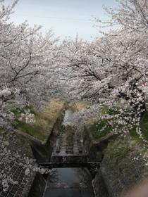 高蔵寺桜1_080405