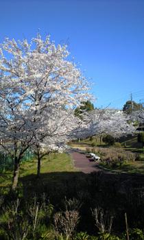 Sakura_morning_090409