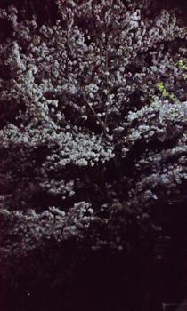 Sakura_night_090409
