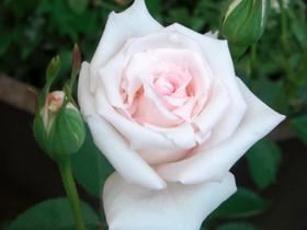 薔薇様(・∀・)