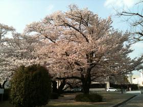 Sakura_100406_1