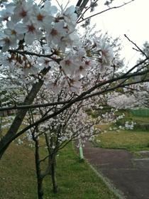 Sakura_100406_3