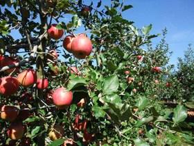 Applehunt1_101024
