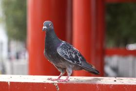 I大須観音の鳩(その3)
