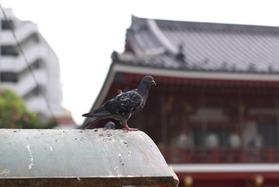 大須観音の鳩(その3)