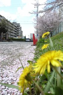 Sakura_060416