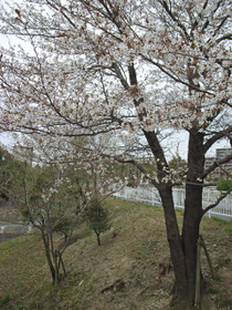 桜070331