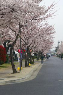 駐屯地の桜並木