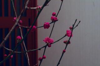 梅の咲く季節