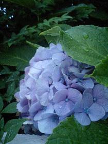 W42CAで撮影した紫陽花
