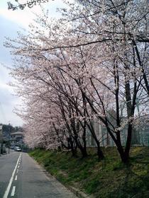 sakura_040403.jpg